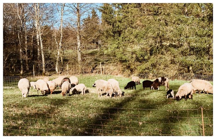 Die Schafe bekommen jeden Tag ein neues Stück Wiese