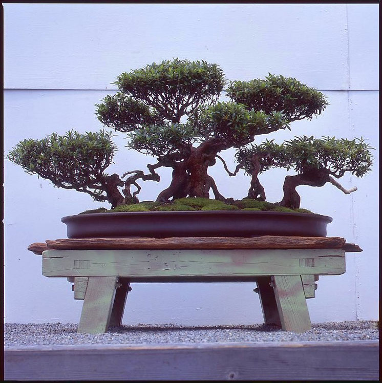 Alter Bonsai