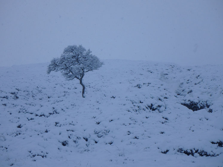 A lonely tree in snow, Rannoch Moor, West Highland Way in December