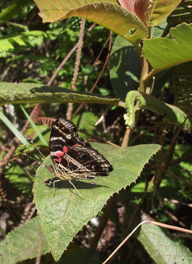 Butterfly, Coiroco, Yungas, Bolivia