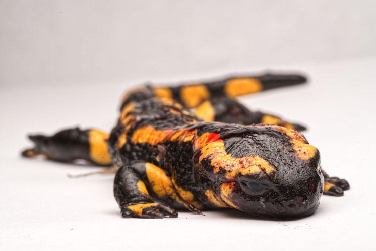Bsal Salamander