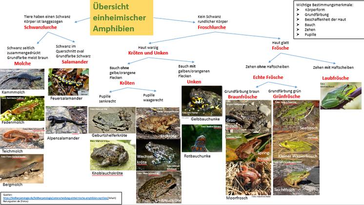 Unterscheidungsmerkmale einheimischer Amphibien