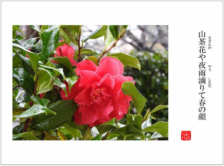 山茶花(さざんか)始まりの句  自宅庭 160319撮影