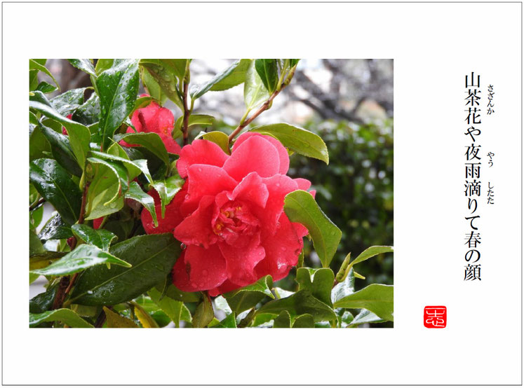 山茶花(さざんか)始まりの句 自宅庭 2016/03/19作句 撮影
