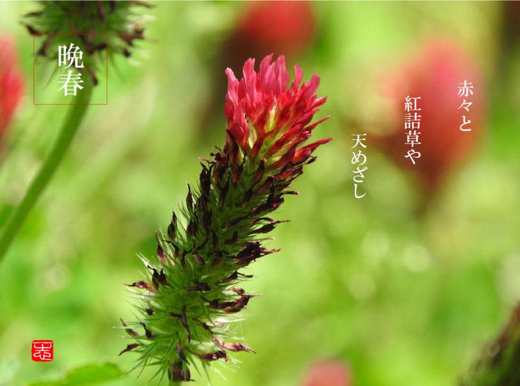 紅詰草(べにつめぐさ)散策路 2016/05/05作句 撮影