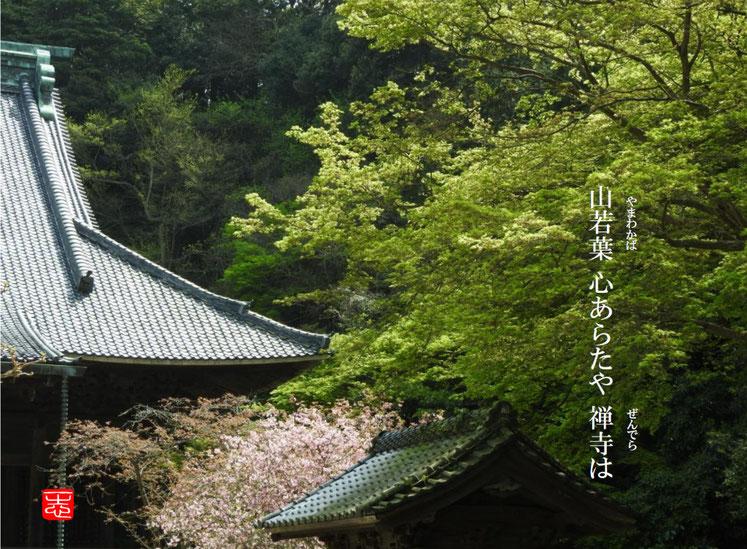 山若葉心あらたや禅寺は  山若葉(やまわかば)禅寺  鎌倉妙本寺 160716撮影