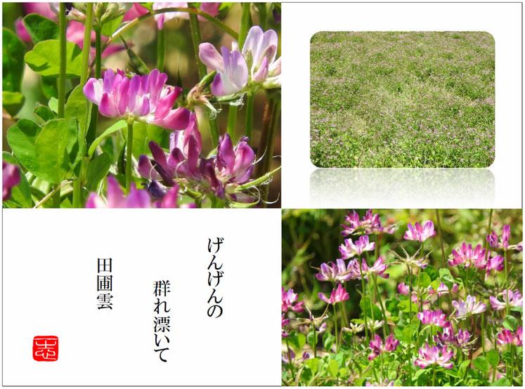 げんげん 蓮華草 散策路 2016/05/05作句 撮影