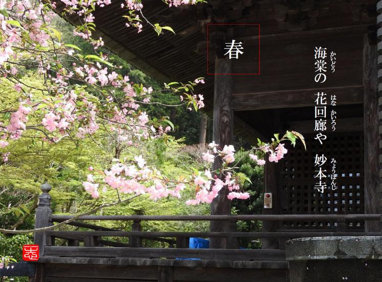花海棠(はなかいどう)鎌倉妙本寺 2016/04/09作句 撮影