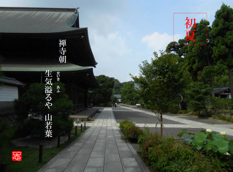 禅寺朝生気溢るや山若葉  山若葉(やまわかば)鎌倉建長寺 160816撮影