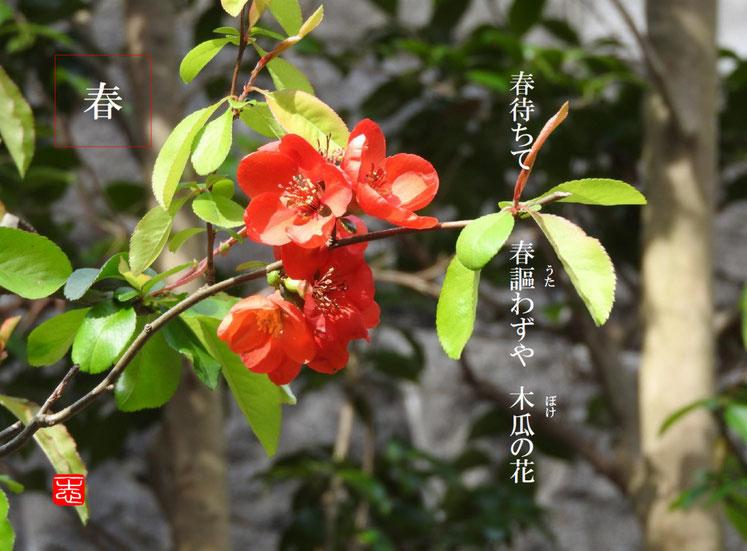 木瓜の花(ぼけのはな) 散策路 160402撮影