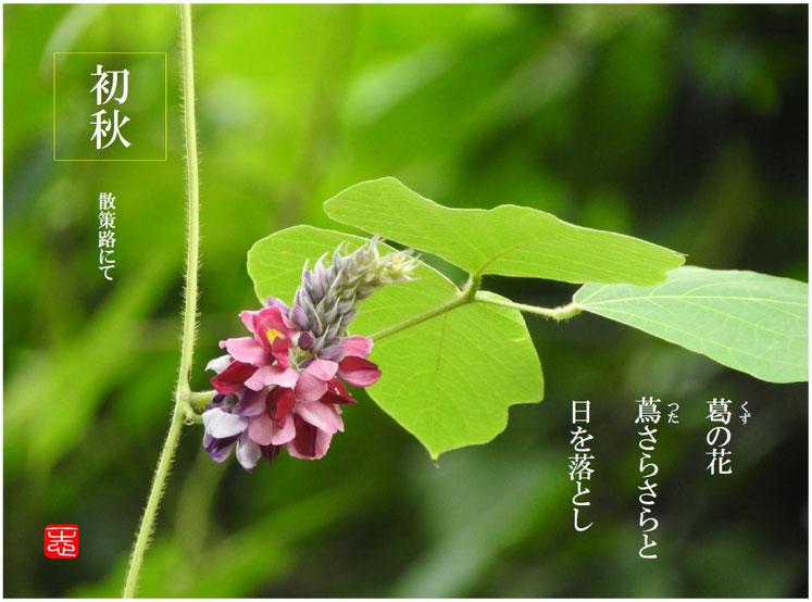 葛の花蔦さらさらと日を落とし  葛の花(くずのはな) 散策路 160819撮影
