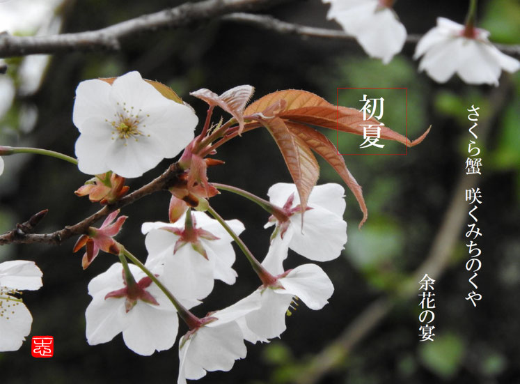 さくら蟹咲くみちのくや余花の宴  余花(よか)散策路 160402撮影