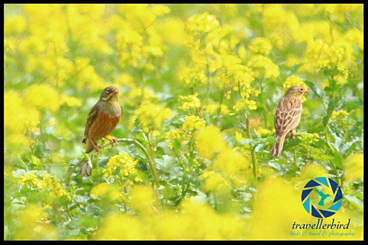 Ortolan Bunting male and female on rape
