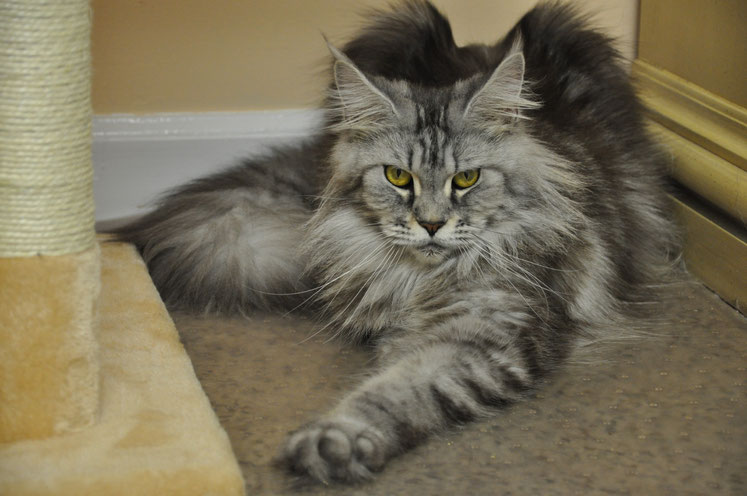 Alysia of EuroCoons, Black Classic Tabby Maine Coon (N22)