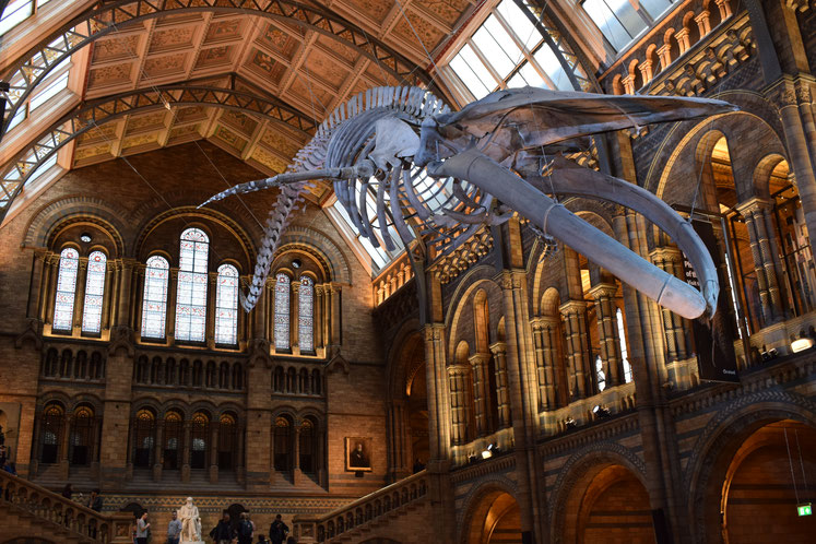 Blue whale skeleton, London's Natural History Museum