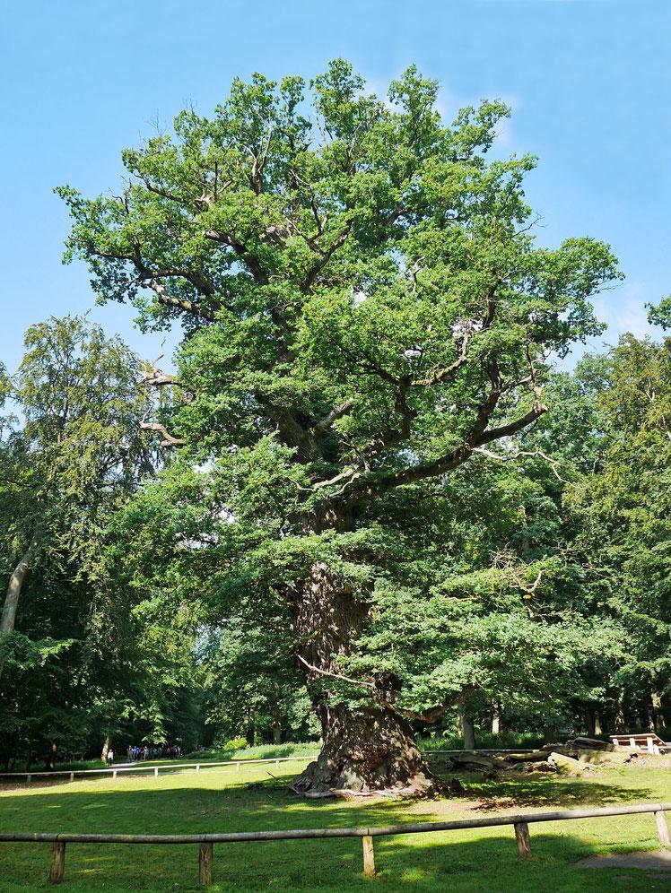 Große Eiche im Ivenacker Tiergarten