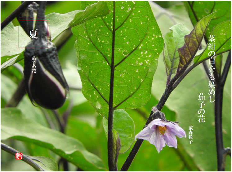茎紺の白をも染めし茄子の花  茄子の花(なすのはな)2017/08/01作句