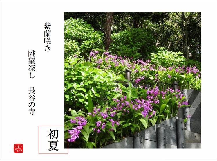 2016/04/29作句 鎌倉 長谷寺 紫蘭