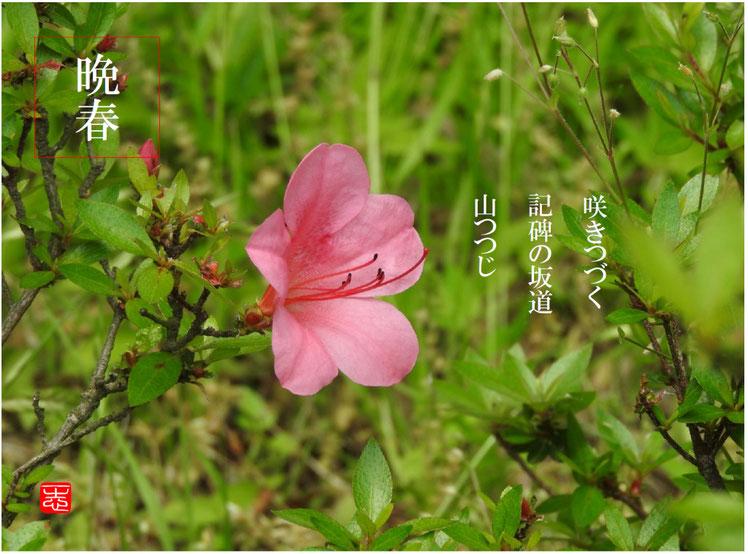 山つつじ(やまつつじ) 散策路 2016/04/22作句 撮影