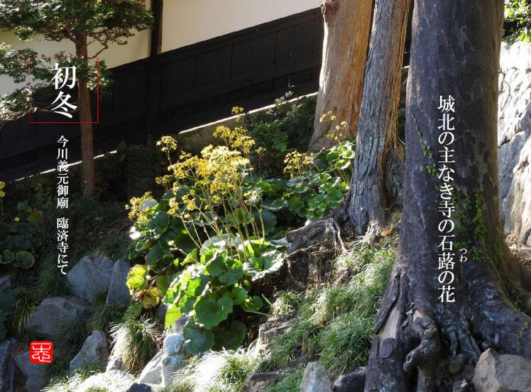 城北の主なき寺の石蕗の花 216/11/26作句 臨済寺 161126撮影