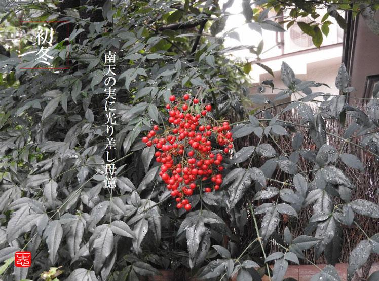 南天の実に光り差し母憶 2016/11/12作句 実家の庭 161112撮影