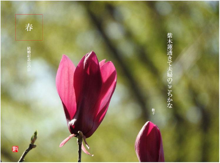 紫木蓮透きて夫婦のここちかな  結婚記念日の日(けっこんきねんびのひ)2018/04/01作句  散策路2018/03/31撮影