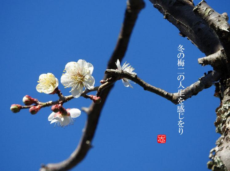 2017/01/11作句 散策路 冬の梅