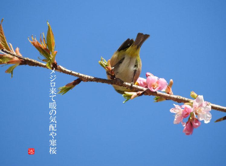 2017/02/08作句 散策路 メジロ