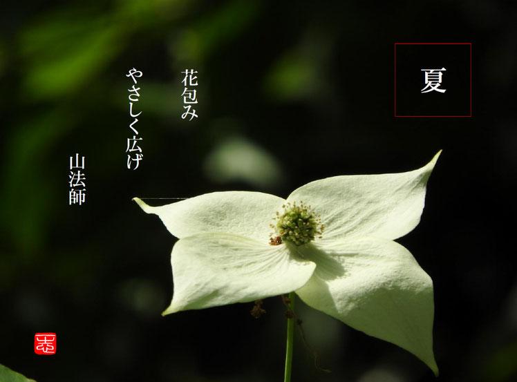 花包みやさしく広げ山法師  山法師(やまぼうし)散策路 160514撮影