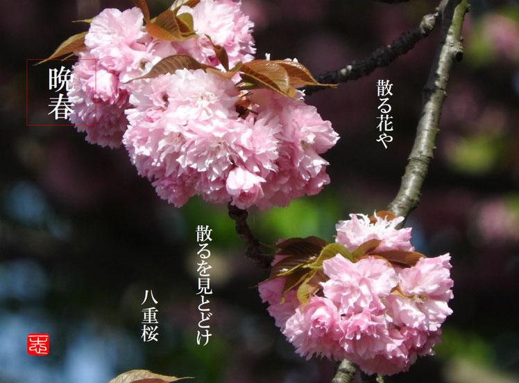 八重桜(やえざくら)散策路 2016/04/22作句 撮影