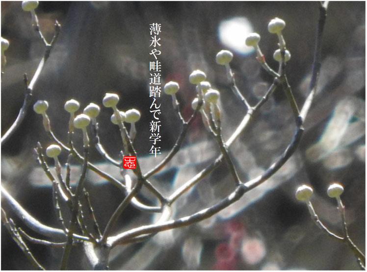 薄氷(うすらい) 散策路 子の芽撮影 2017/01/02作句