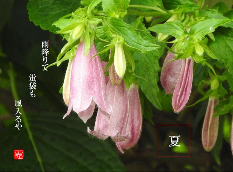 2016/05/27作句 散策路 蛍袋