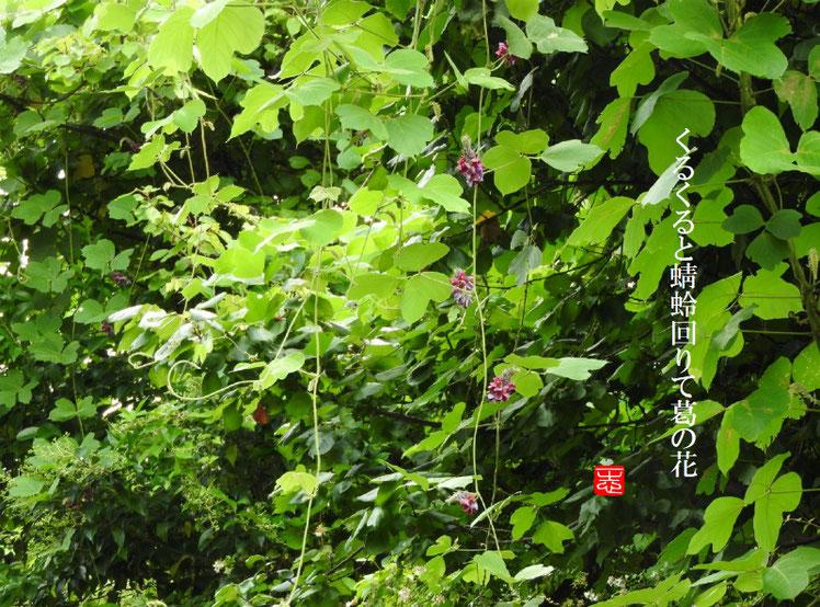 くるくると蜻蛉回りて葛の花  葛の花(くずのはな)160916撮影 170228作句