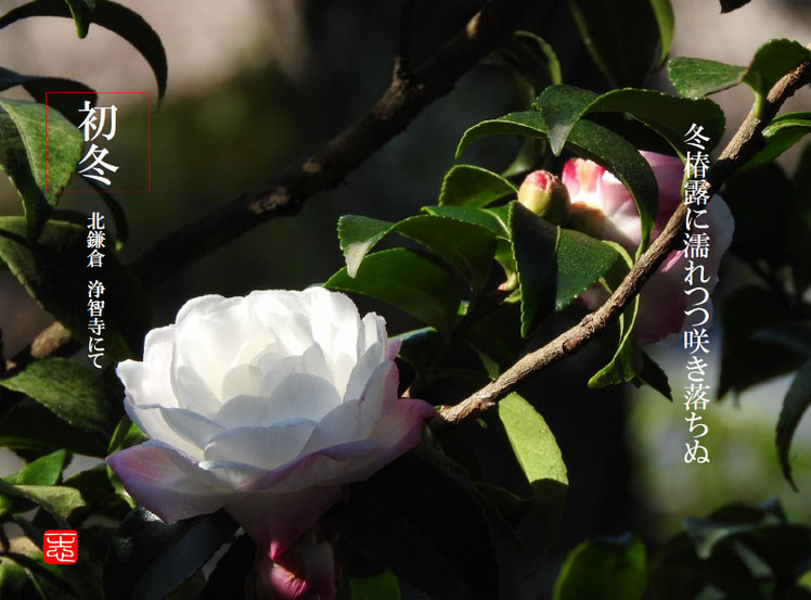 冬椿露に濡れつつ咲き落ちぬ 2016/11/13作句 北鎌倉浄智寺 161113撮影