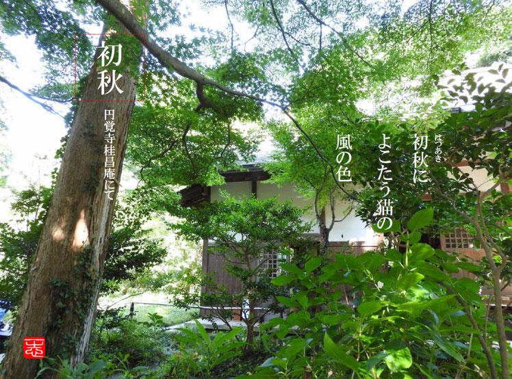 初秋によこたう猫の風の色  円覚寺弓道場の猫(ねこ) 桂昌庵弓道場 160909撮影