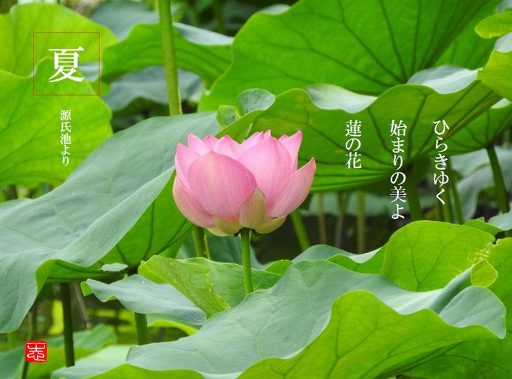 蓮の花(はすのはな) 鎌倉鶴岡八幡宮 源氏池 160804撮影