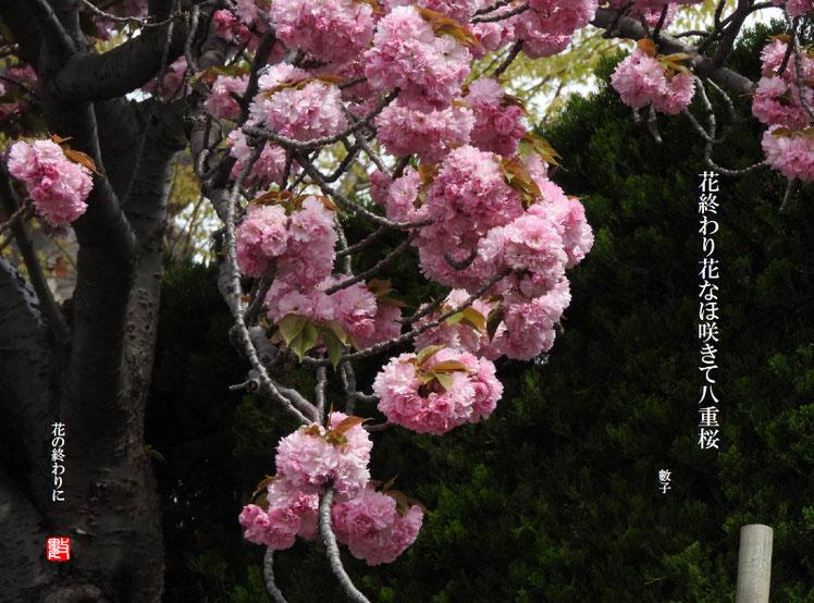 花終わり花なほ咲きて八重桜  八重桜(やえざくら)2018/04/15制作 2018/04/12撮影