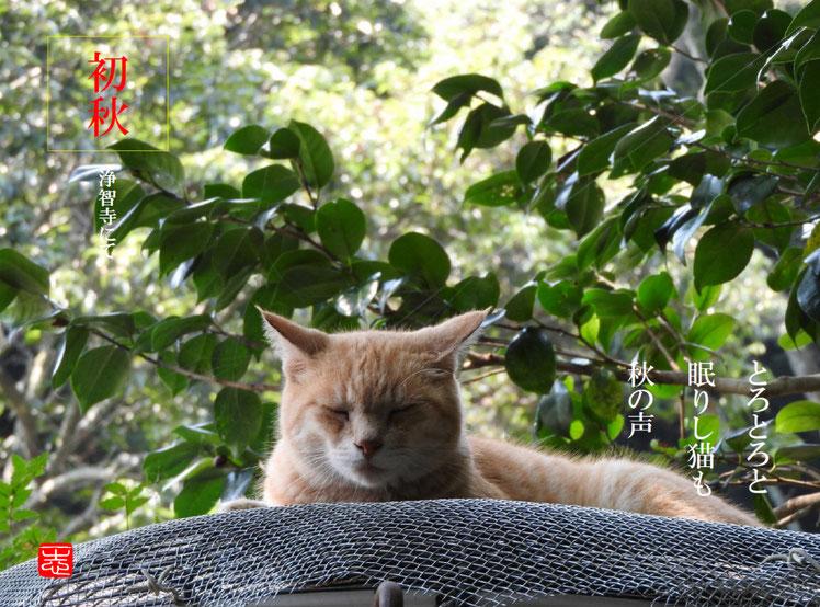 とろとろと眠りし猫も秋の声  猫(ねこ)北鎌倉浄智寺にて 160902撮影