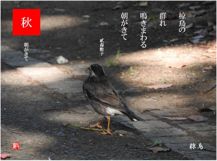 椋鳥の群れ鳴きまわる朝がきて  椋鳥(むくどり)2017/07/18作句