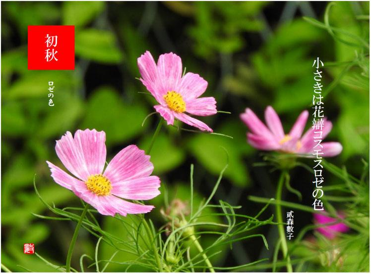 2017/09/04作句 散策路 コスモス