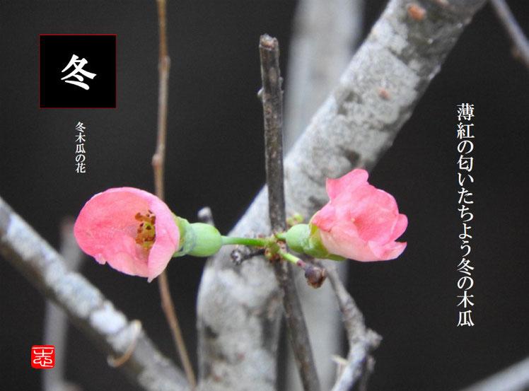 薄紅の匂いたちよう冬の木瓜 2016/12/24作句 散策路 161224撮影