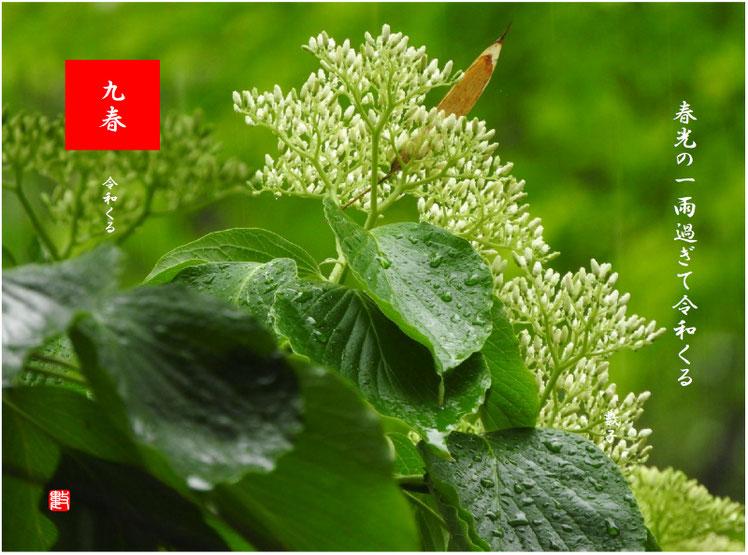 令和くる 2019/04/30作句  平成31年4月、雨の水木の花