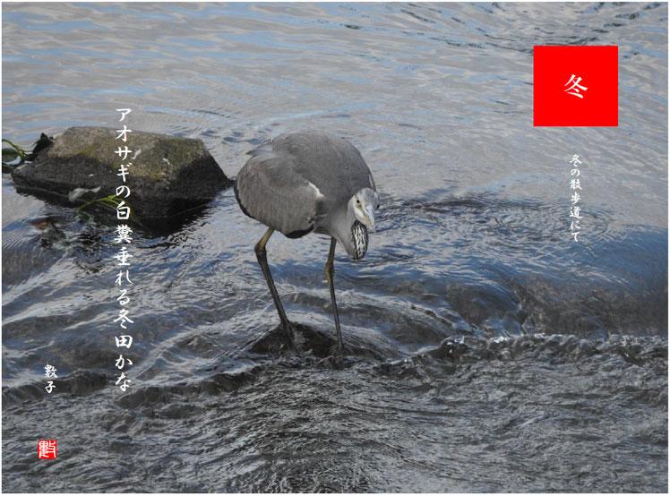 アオサギの白糞垂れる冬田かな 2018/12/13作句 散策路河川の青鷺