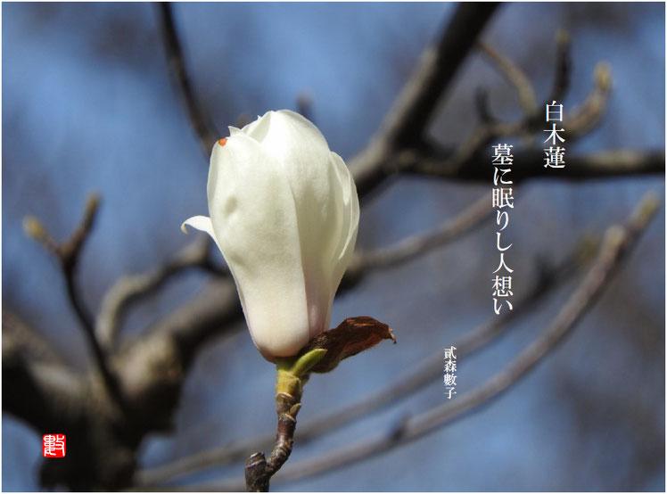 2017/04/27作句  墓所 木蓮