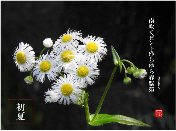 南吹くピントゆらゆら春紫苑  南風(みなみかぜ)散策路 160507撮影