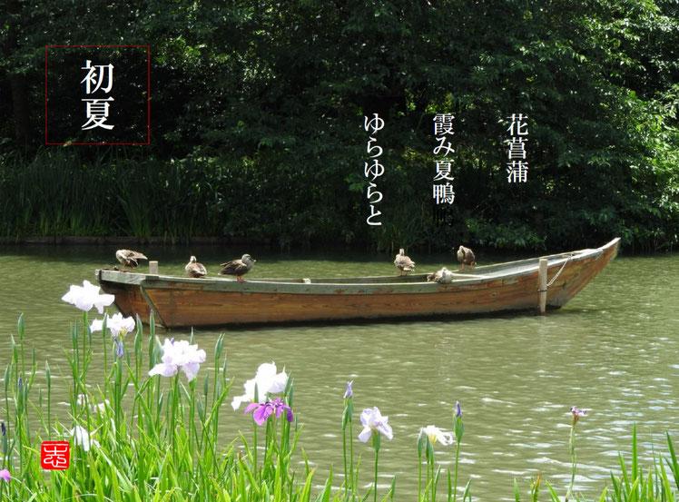 花菖蒲霞み夏鴨ゆらゆらと  花菖蒲(はなしょうぶ)夏鴨  三溪園 160617撮影