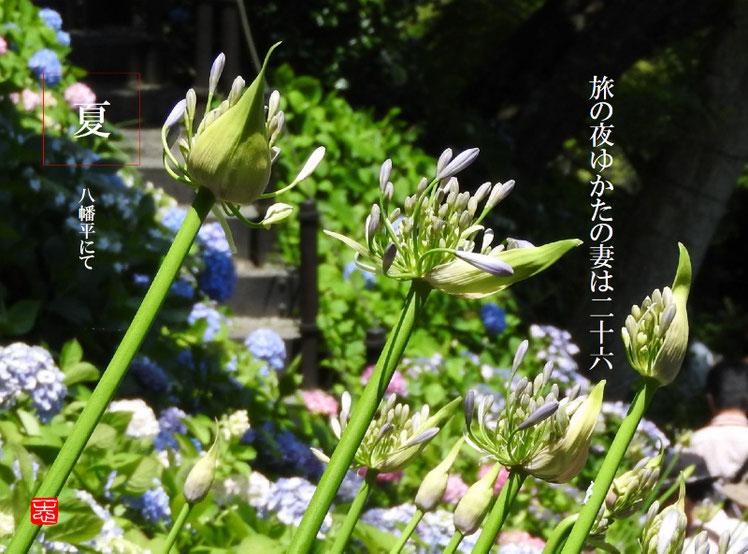 旅の夜(たびのよる)紫君子蘭 2016/06/09作句 撮影
