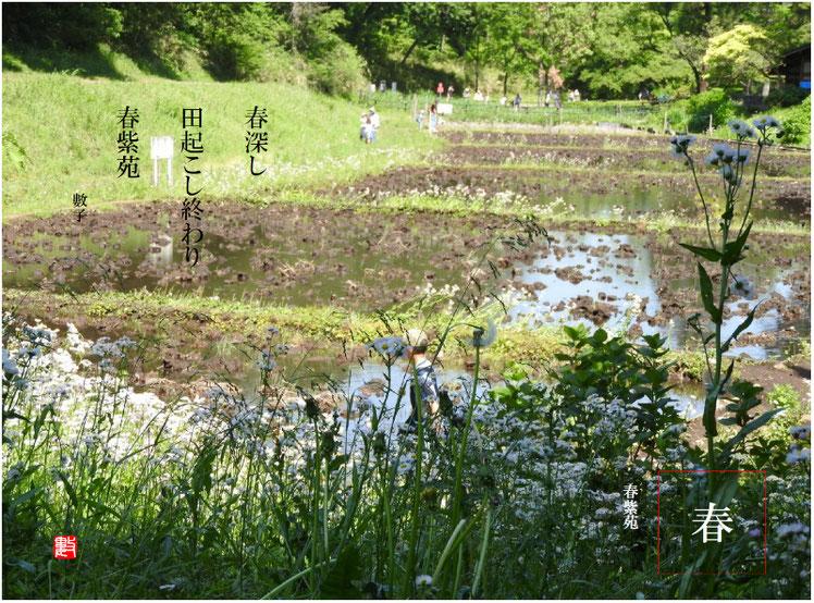 春紫苑(はるじおん) 2018/05/08作句 2018/05/5撮影