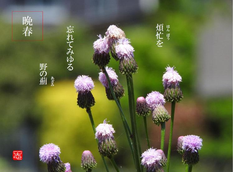 野薊(のあざみ)散策路 2016/05/05作句 撮影