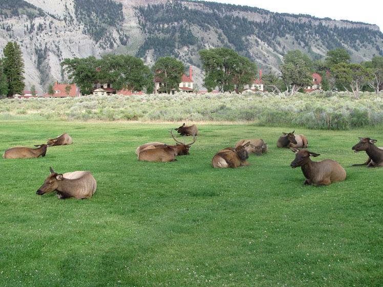 Cerfs devant l'hôtel de Mammoth Hot Springs
